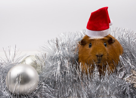 Cute funny guinea pig wearing a Santa hat among Christmas decorations (against a white background)