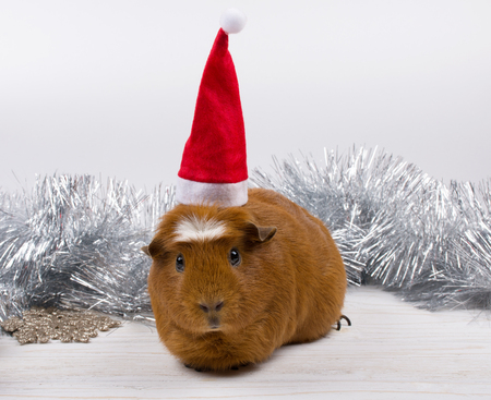 Cute funny guinea pig wearing a Santa hat and Christmas decorations (against a white background) Stock Photo