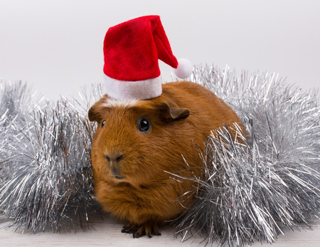 Silver tinsel and a cute funny guinea pig wearing a Santa hat (against a white background) Stockfoto - 112881110