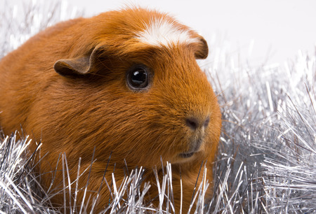 Portrait of a cute American crested guinea pig against the background of silver tinsel Stock Photo