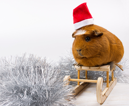 Silver tinsel and a cute funny guinea pig wearing a Santa hat and sitting on a toy Christmas sleigh (against a white background), copy space on the left for your text