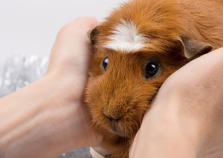 Portrait of a funny guinea pig in human hands (selective focus on the guinea pig nose and eyes)