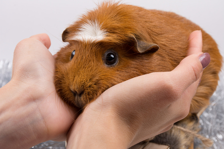 Portrait of a funny guinea pig in human hands (selective focus on the guinea pig)