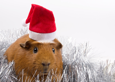Cute funny guinea pig wearing a Santa hat among silver tinsel (against a white background), copy space on the right for your text Stockfoto - 112881233
