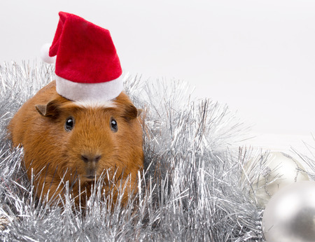 Cute funny guinea pig wearing a Santa hat among Christmas decorations (against a white background, copy space on the right for your text), selective focus on the guinea pig eyes