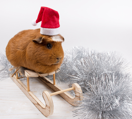 Silver tinsel and a cute funny guinea pig wearing a Santa hat and sitting on a toy Christmas sleigh (against a white background), copy space on the right for your text