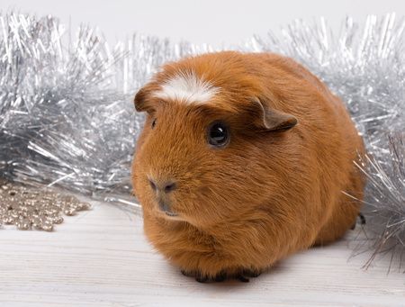 Cute American crested guinea pig against the background of Christmas decorations Stok Fotoğraf