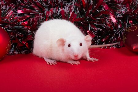 Cute white rat as a symbol of the 2020 New Year of the White Metal Rat (against the red background of red New Year toys and tinsel)