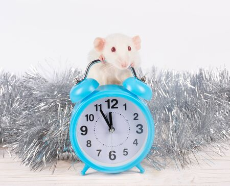 Cute white rat standing behind a clock showing almost midnight as a symbol of the 2020 New Year of the White Metal Rat (against the white wooden background and silver tinsel) Standard-Bild - 135515097