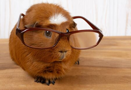Funny guinea pig wearing glasses (on a wooden background), copy space on the right for your text Stockfoto