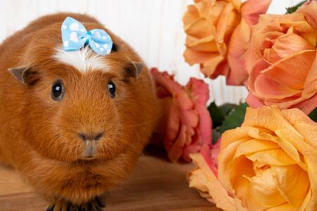 Cute funny guinea pig wearing a blue bow and beautiful pink and yellow roses