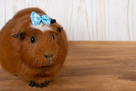 Cute funny guinea pig wearing a blue bow (on a wooden background, copy space on the right for your text)