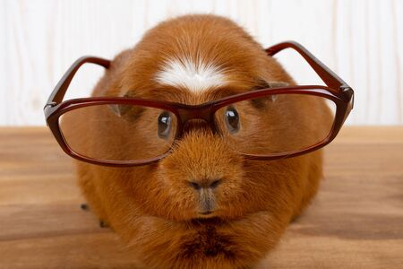 Funny guinea pig wearing glasses (on a wooden background)