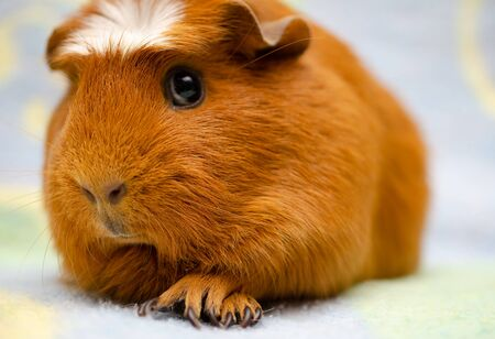 Cute guinea pig against a bright background Stockfoto
