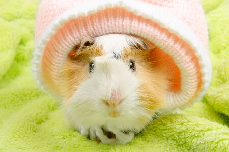 Funny cute Abyssinian guinea pig wearing a baby hat (on the green background)