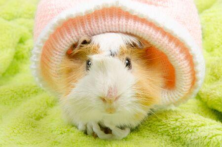 Lustiges süßes abessinisches Meerschweinchen mit Babymütze (auf grünem Hintergrund)