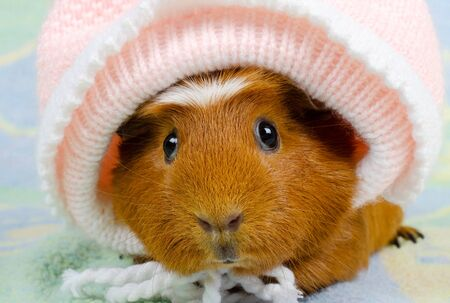Funny cute guinea pig wearing a baby hat (on a bright background)