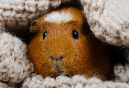 Funny cute guinea pig hiding in a knitted woolen scarf