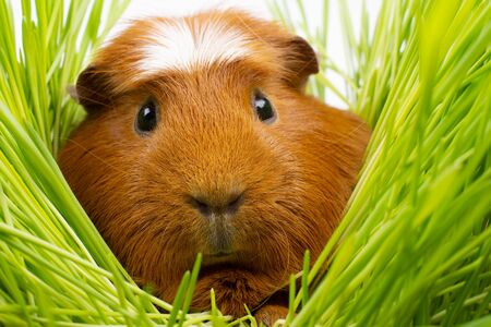Funny cute guinea pig hiding among green grass