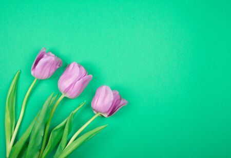 Three beautiful purple tulips on a bright green background, top view (copy space on the right for your text)