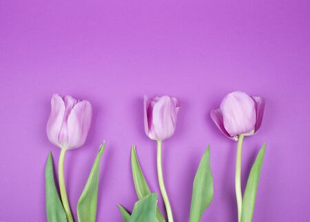 Three beautiful purple tulips on a purple background, top view (copy space for your text)