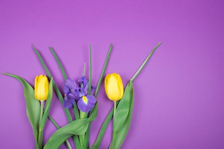 Beautiful yellow tulips and a purple iris flower on a purple background, top view (copy space for your text)