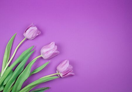 Three beautiful purple tulips on a purple background, top view (copy space on the right for your text) Standard-Bild