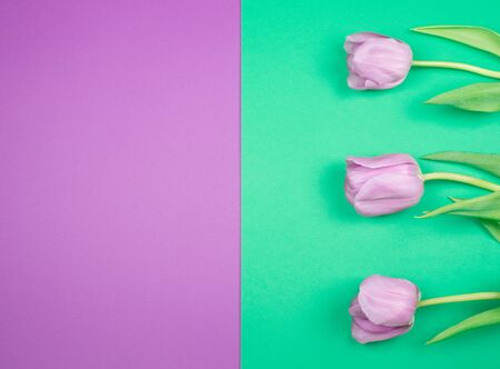 Three beautiful purple tulips on a split purple and green background, top view (copy space for your text)