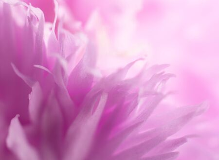 Extreme macro shot of blurred petals of beautiful bright pink flowers (copy space on the right for your text), soft focus