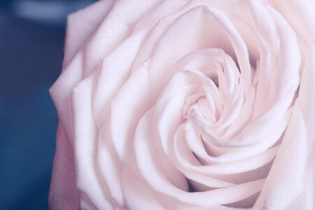Macro shot of blurred petals of a beautiful pastel pink rose against a blue background (copy space on the left), very shallow DOF, selective soft focus, retro toned Stockfoto