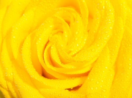 Macro shot of a vibrant yellow rose with morning dew on its petals (very shallow DOF, selective focus) Stockfoto