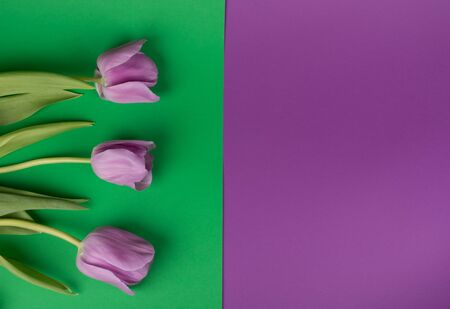 Three beautiful purple tulips on a split green and purple background, top view (copy space for your text)