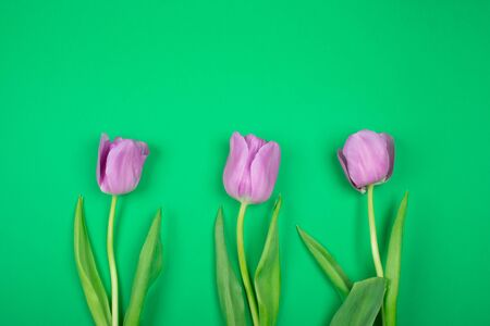 Three beautiful purple tulips on a bright green background, top view (copy space for your text)