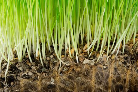 Bright green grass and roots in the soil Standard-Bild - 135515104
