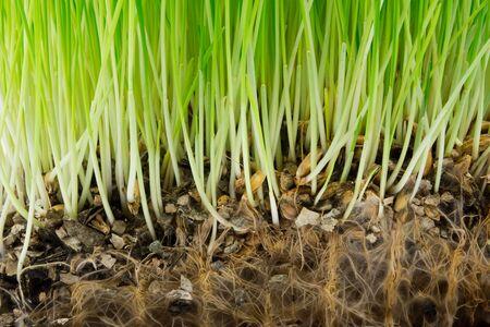 Hierba verde brillante y raíces en el suelo.