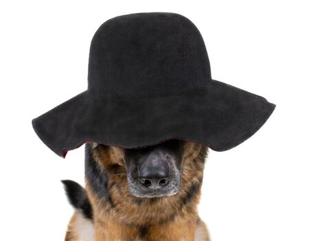 Funny dog wearing a lady hat covering its eyes (isolated on white) Standard-Bild - 136412270
