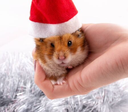 Funny angry Syrian hamster wearing a Santa hat and sitting on a hand (against the background of Christmas decorations)