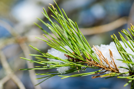 glisten: Dew Drops glisten on pine needles as the spring snow melts.