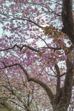 Blue sky and branch of pink cherry blossom tree of Asukayama park in the Kita district of Tokyo, Japan.