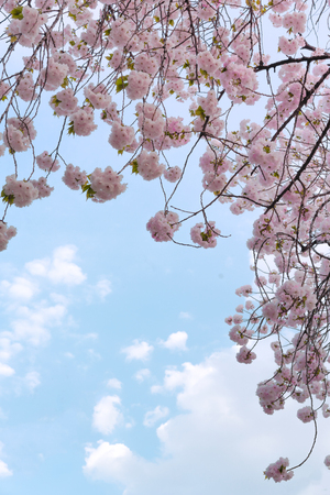Beautiful cherry blossoms in spring blue sky of famous hanami Asukayama Park festival in Tokyo in Japan. 스톡 콘텐츠