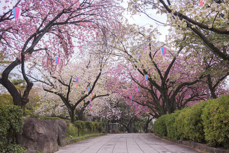 Cherry blossoms of Asukayama Park in Kita district, north of Tokyo. The park was created in the 18th century by Tokugawa Yoshimune who planted 1270 cherry trees to entertain the people during the Hanami Spring Festival. It currently has 650 cherry trees m