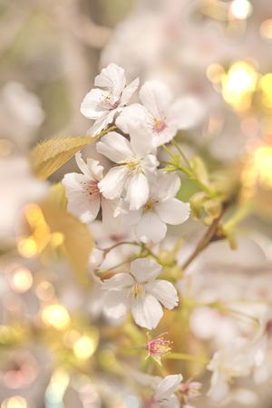 Close-up on white yoshino cherry blossom with pale bokeh