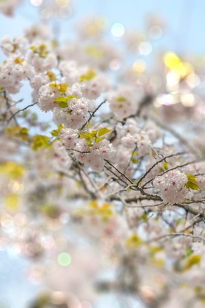 White Somei Yoshino cherry blossoms in bloom with pale bokeh tilt lens effect in Asukayama park in the Kita district of Tokyo, Japan. 스톡 콘텐츠