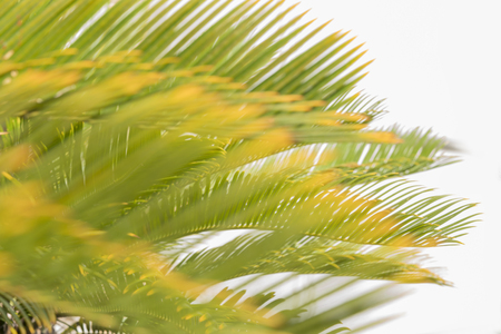 Green palm leaf of Okinawa in Japan on white background with bokeh.