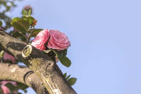 Pink camelia on blue sky in Asukayama park in the Kita district of Tokyo, Japan.