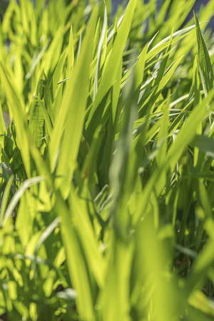 close-up on green grass of Asukayama park in the Kita district of Tokyo, Japan.