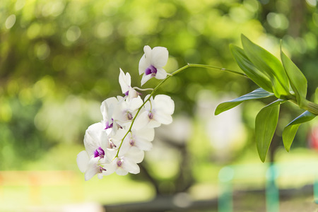 White orchid flowers in the Okinawa Islands in southern Japan