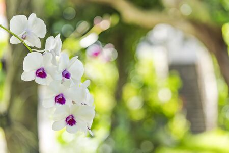 White orchids blooming flower in a park of Naha City in Okinawa island in Japan. Stok Fotoğraf - 127529069