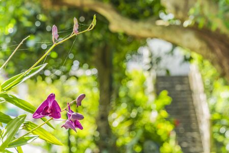 Red orchids blooming flower in a park of Naha City in Okinawa island in Japan. Stok Fotoğraf