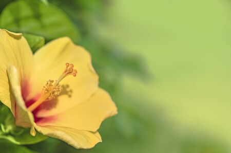Yellow hibiscus blooming flower on a beach of Naha City in Okinawa island in Japan. Stok Fotoğraf - 127529071